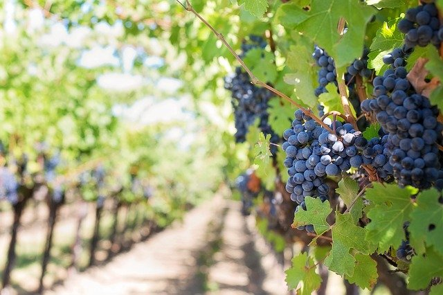 OFICIAL Producatorii din sectorul vitivinicol vor primi bani de la stat. Care sunt conditiile?